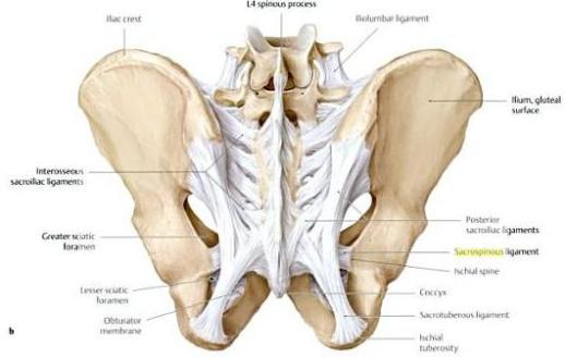 pelvic-ligaments-post