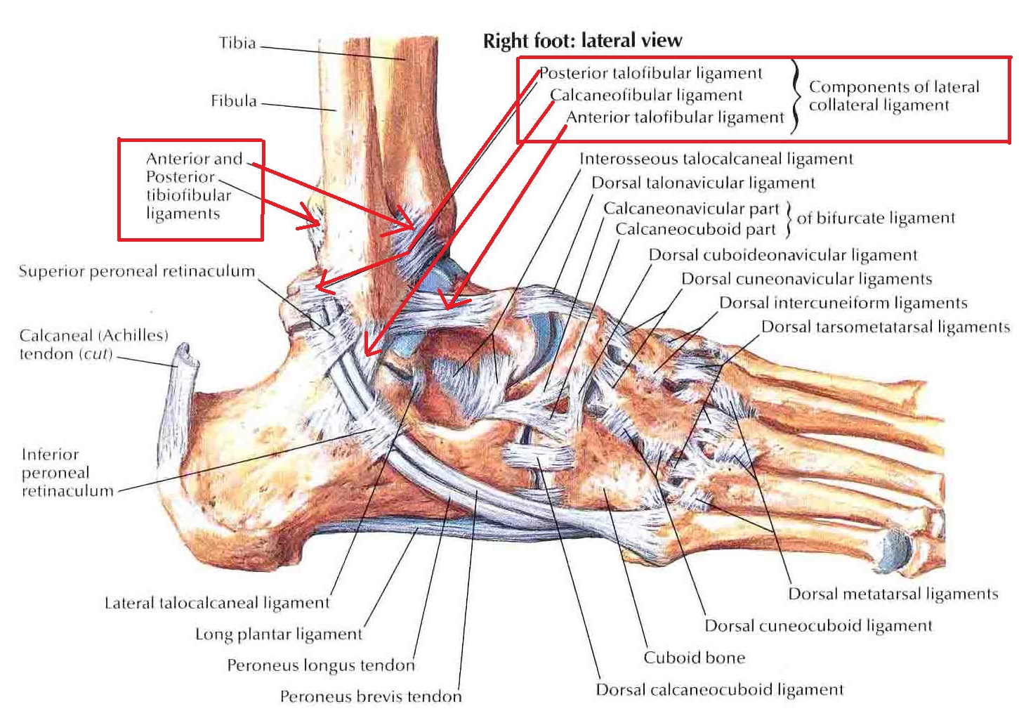 Ankle Sprains Management